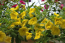 Superbells® Yellow Calibrachoa (Calibrachoa 'Superbells Yellow') at Canadale Nurseries