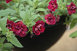 Superbells® Double Plum Calibrachoa (Calibrachoa 'Superbells Double Plum') at Canadale Nurseries