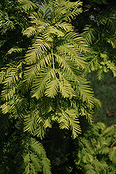 Gold Rush Dawn Redwood (Metasequoia glyptostroboides 'Gold Rush') at Canadale Nurseries