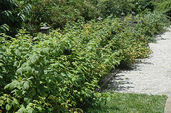 Heritage Raspberry (Rubus 'Heritage') at Canadale Nurseries