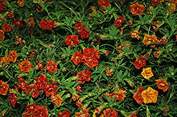Superbells® Double Salsa Calibrachoa (Calibrachoa 'Superbells Double Salsa') at Canadale Nurseries