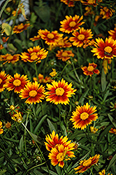 Lil' Bang™ Daybreak Tickseed (Coreopsis 'Daybreak') at Canadale Nurseries