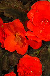 Nonstop® Mocca Deep Orange Begonia (Begonia 'Nonstop Mocca Deep Orange') at Canadale Nurseries
