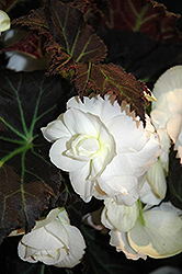 Nonstop® Mocca White Begonia (Begonia 'Nonstop Mocca White') at Canadale Nurseries