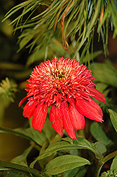 Double Scoop™ Cranberry Coneflower (Echinacea 'Balscanery') at Canadale Nurseries