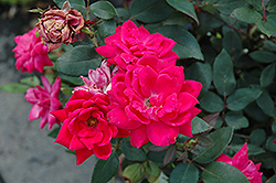 Red Double Knock Out Rose (Rosa 'Red Double Knock Out') at Canadale Nurseries