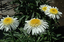 Real Glory Shasta Daisy (Leucanthemum x superbum 'Real Glory') at Canadale Nurseries