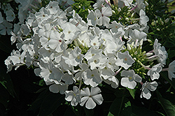 White Flame Garden Phlox (Phlox paniculata 'White Flame') at Canadale Nurseries