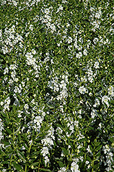 Angelface® White Angelonia (Angelonia angustifolia 'Angelface White') at Canadale Nurseries