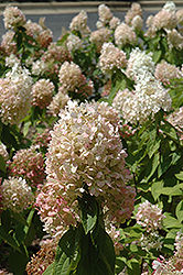 Sweet Summer Hydrangea (Hydrangea paniculata 'Sweet Summer') at Canadale Nurseries