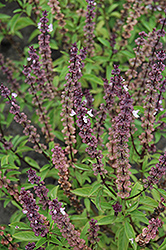 Thai Basil (Ocimum basilicum 'Thai') at Canadale Nurseries