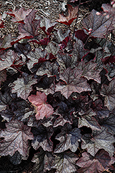 Carnival Plum Crazy Coral Bells (Heuchera 'Plum Crazy') at Canadale Nurseries