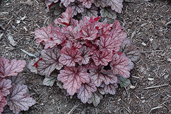 Kira Jersey Coral Bells (Heuchera 'Kira Jersey') at Canadale Nurseries