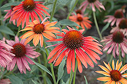 Hot Summer Coneflower (Echinacea 'Hot Summer') at Canadale Nurseries
