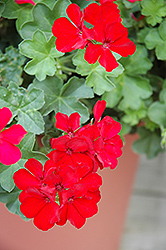 Caliente Deep Red Geranium (Pelargonium 'Caliente Deep Red') at Canadale Nurseries