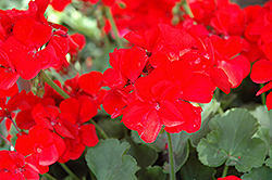 Boldly® Scarlet Fire Geranium (Pelargonium 'Boldly Scarlet Fire') at Canadale Nurseries