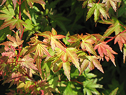 Coonara Pygmy Japanese Maple (Acer palmatum 'Coonara Pygmy') at Canadale Nurseries