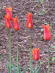 BallerinaTulip (Tulipa 'Ballerina') at Canadale Nurseries