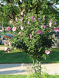 Aphrodite Rose of Sharon (Hibiscus syriacus 'Aphrodite') at Canadale Nurseries