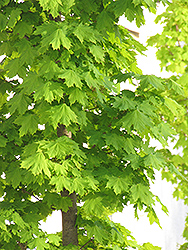 Columnar Norway Maple (Acer platanoides 'Columnare') at Canadale Nurseries