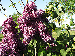 Monge Lilac (Syringa vulgaris 'Monge') at Canadale Nurseries