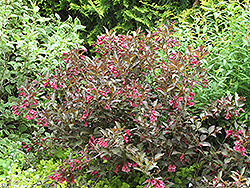 Midnight Wine® Weigela (Weigela florida 'Elvera') at Canadale Nurseries
