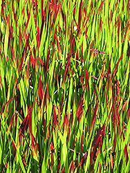 Red Baron Japanese Blood Grass (Imperata cylindrica 'Red Baron') at Canadale Nurseries