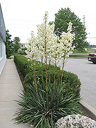 Adam's Needle (Yucca filamentosa) at Canadale Nurseries