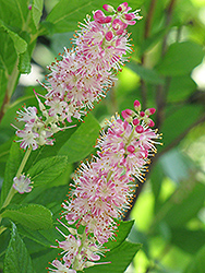 Ruby Spice Summersweet (Clethra alnifolia 'Ruby Spice') at Canadale Nurseries