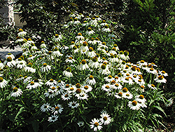 White Swan Coneflower (Echinacea purpurea 'White Swan') at Canadale Nurseries