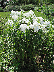 David Garden Phlox (Phlox paniculata 'David') at Canadale Nurseries