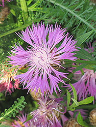 Cornflower (Centaurea dealbata) at Canadale Nurseries