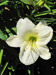 Joan Senior Daylily (Hemerocallis 'Joan Senior') at Canadale Nurseries