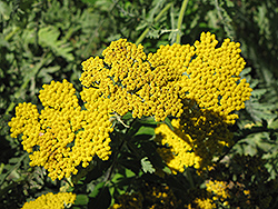 Coronation Gold Yarrow (Achillea 'Coronation Gold') at Canadale Nurseries