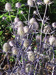 Jade Frost Variegated Sea Holly (Eryngium planum 'Jade Frost') at Canadale Nurseries