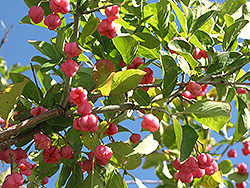 Spindle Tree (Euonymus europaeus) at Canadale Nurseries