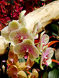 Freckles Orchid (Phalaenopsis 'Freckles') at Canadale Nurseries