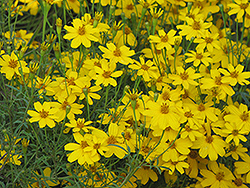 Zagreb Tickseed (Coreopsis verticillata 'Zagreb') at Canadale Nurseries