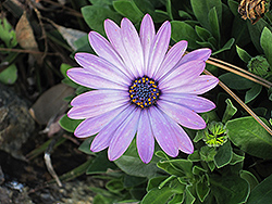 Soprano Light Purple African Daisy (Osteospermum 'Soprano Light Purple') at Canadale Nurseries