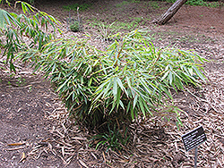 Clump Bamboo (Fargesia robusta) at Canadale Nurseries