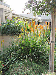 Torchlily (Kniphofia natalensis) at Canadale Nurseries