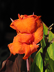Pretoria Canna (Canna 'Pretoria') at Canadale Nurseries