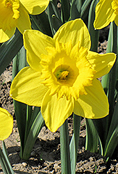 King Alfred Daffodil (Narcissus 'King Alfred') at Canadale Nurseries