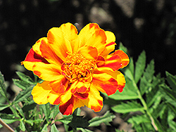 Safari Bolero Marigold (Tagetes patula 'Safari Bolero') at Canadale Nurseries