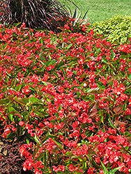 Dragon Wing Red Begonia (Begonia 'Dragon Wing Red') at Canadale Nurseries