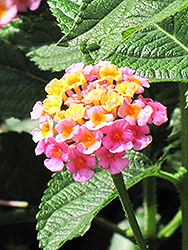 Lantana (Lantana camara) at Canadale Nurseries