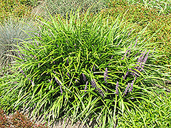 Lily Turf (Liriope spicata) at Canadale Nurseries