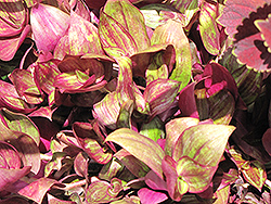 Purple Wandering Jew (Tradescantia fluminensis 'Purple') at Canadale Nurseries