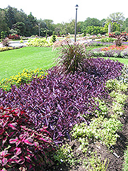 Purple Heart Spider Lily (Tradescantia pallida 'Purple Heart') at Canadale Nurseries