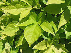 Sweet Caroline Light Green Sweet Potato Vine (Ipomoea batatas 'Sweet Caroline Light Green') at Canadale Nurseries